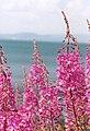 Epilobe feuilles etroites 01.jpg