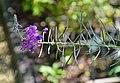 Epilobium angustifolium in Jardin botanique de la Charme 01.jpg
