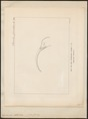 Epimachus albertisii - 1875 - Print - Iconographia Zoologica - Special Collections University of Amsterdam - UBA01 IZ16100067.tif