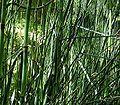 Equisetum giganteum 4 ies.jpg