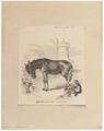 Equus asinus - 1700-1880 - Print - Iconographia Zoologica - Special Collections University of Amsterdam - UBA01 IZ21700067.tif