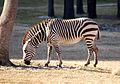 Equus zebra - Disney's Animal Kingdom Lodge, Orlando, Florida, USA - 20100119 - 03.jpg