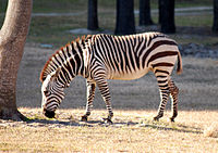 Equus zebra - Disney's Animal Kingdom Lodge, Orlando, Florida, USA - 20100119 - 03.jpg