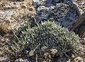 Eriogonum callistum (Tehachapi buckwheat) (7553623912).jpg