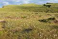 Eriophorum angustifolium habitat, Isle of Skye, Scotland - Diliff.jpg