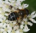 Eristalis rupium (female) - Flickr - S. Rae (6).jpg