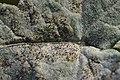 Erysiphe heraclei on Hogweed Heracleum sphondylium (44775225322).jpg