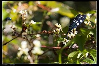 <i>Eterusia taiwana</i> species of insect