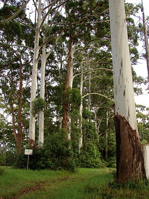 Tamborine National Park - Flooded gums, 2010