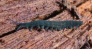 Peripatopsidae - Euperipatoides kanangrensis in Australia