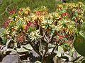 Euphorbia atropurpurea Tenerife 2.jpg