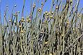 Euphorbia damarana 2 MHNT.JPG