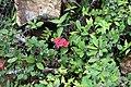 Euphorbia milii 25zz.jpg