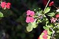 Euphorbia milii var. splendens 0zz.jpg