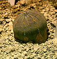 Euphorbia obesa 2.jpg