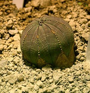 Euphorbia obesa - Image: Euphorbia obesa 2