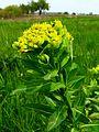 Euphorbia palustris Zazymya1.jpg
