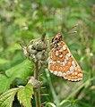Euphydryas aurinia 20100619.jpg
