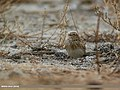 Eurasian Skylark (Alauda arvensis) (32031187833).jpg
