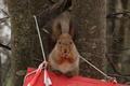 Eurasian red squirrel (Sciurus vulgaris).png
