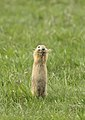 European ground squirrel - Siesel - Spermophilus citellus.jpg