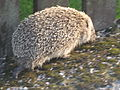 European hedgehog (Erinaceus europaeus) in Sweden 2011.jpg