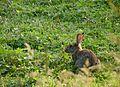 European rabbit J2.jpg