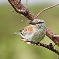 European roller, Coracias garrulus at Kruger National Park. (44839532085).jpg