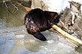 Evil Beaver eating a log (40348764181).jpg