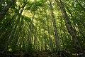Faggeta nel bosco di Fociomboli.jpg