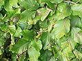 Fagus sylvatica suentelensis0.jpg