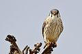 Falco sparverius Vero Beach Florida.jpg