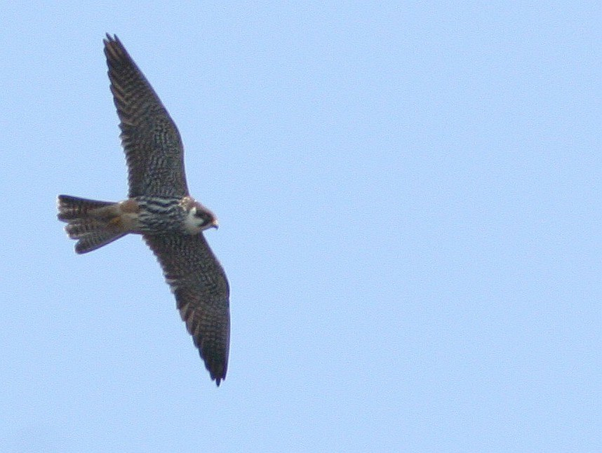 Falco subbuteo kobuz1