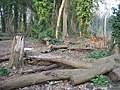 Fallen trees - geograph.org.uk - 1240922.jpg