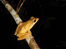 False hour glass tree frog..JPG
