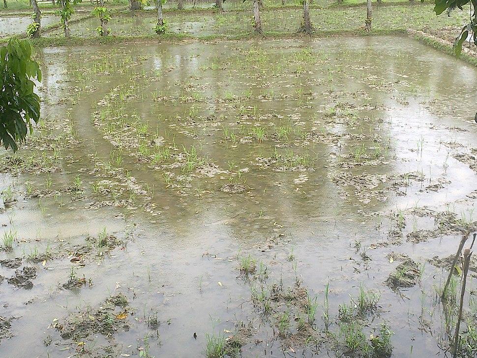Farmland Ready For Paddy Cultivation