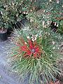 Fascicularia bicolor & Correa Marion's Marvel (23334396149).jpg