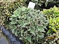 Faucaria tigrina (3779499490).jpg