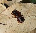 Female Osmia aurulenta? (32543641941).jpg