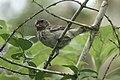 Female ground finch (47767600651).jpg