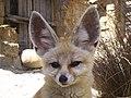 Fennec Fox Ears (4394678079).jpg