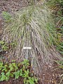 Festuca californica - University of California Botanical Garden - DSC09018.JPG