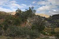Ficus ilicina