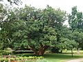 Ficus sycomorus (Brisbane City BG).jpg