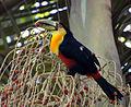 Flickr - Dario Sanches - TUCANO-DE-BICO-VERDE (Ramphastos dicolorus) (1).jpg