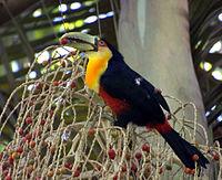 Flickr - Dario Sanches - TUCANO-DE-BICO-VERDE (Ramphastos dicolorus) (1)