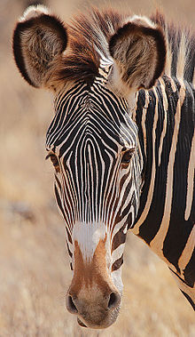Flickr - Rainbirder - Grevy's Zebra headshot.jpg