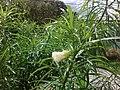 Flor blanca (1) de Thevetia peruviana.jpg