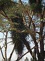 Flora of Tanzania 2442 Nevit.jpg