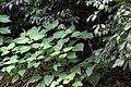 Flora of kakkayam kerala india IMG 7619.jpg
